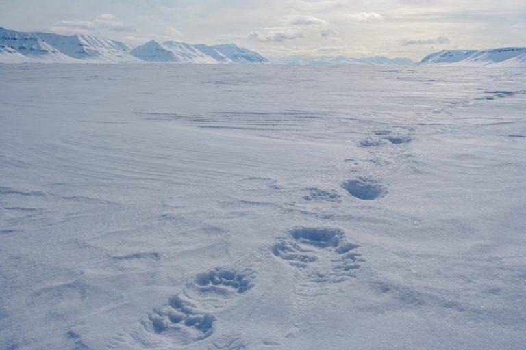 arktis arctic spitzbergen svalbard billefjord pyramiden polarbear eisbär eisbärenspur winter snow ice