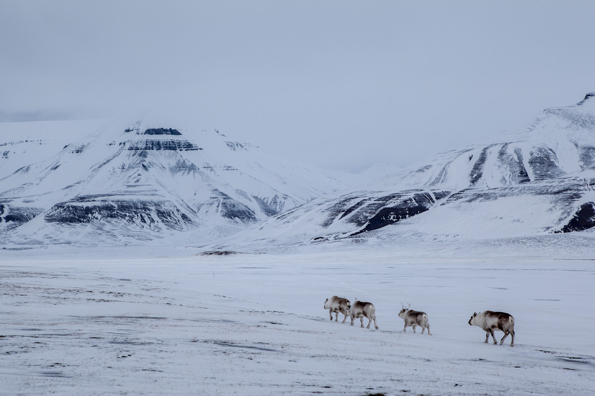 Arctic Arktis Svalbard Spitzbergen Adventdalen Advetntal Rendeer Rentier Valley Tal Mountain Berg Ice Eis Snow Schnee